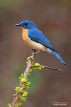 The very blue by Anup Deodhar ~ Tickell's Blue Flycatcher*