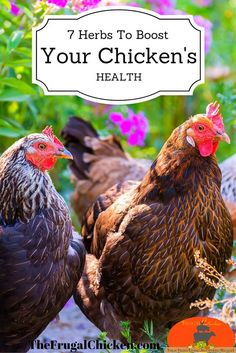 How to use these 7 herbs to boost your flocks health (and get better eggs). Also includes one herb you definitely don't want your flock eating as well as how to make an herbal salve for them.: