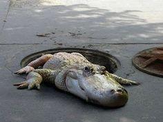 Dans mon pot de confiture: Sous les trottoirs de Paris, un crocodile...