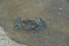 Crabe bleu. Santa Marta, Colombie. De Bogota à Santa Marta