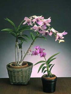 Dendrobium orchidee, luchtzuiverend