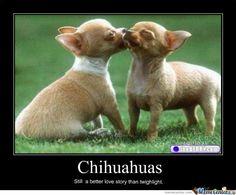 Funny Chiwawa   Chihuahuas