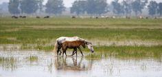Pferde auf gefluteter Wiese! #Weide #überflutet #Wasser #Regen #Fotografie #Pferde #braun #weiß #Tiere #Natur