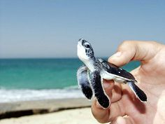 Baby sea turtle.  One of the things on my bucket list is to watch baby sea turtles hatch + hold one. <3
