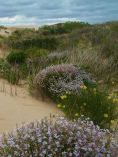 May wildflowers... yellow evening primrose, pink sand penstemon, white mentzelia with barber pole stems... mid May