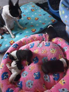 Boston Terrier, Kids Rugs, Dogs, Animals, Decor, Animales, Boston Terriers, Decoration, Kid Friendly Rugs