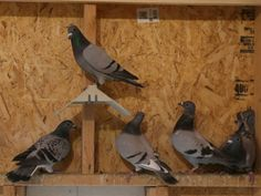 A group of racing pigeons rest inside their coop owned by Andy Lawrance in Iowa