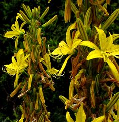 Buy Asphodeline lutea online plants, Asphodeline lutea for sale purchase flower of the dead, Jacob's rod, King's spear mail order