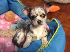 Blue merle chihuahua. (Dotty, 9 weeks old)