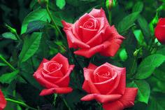 Rose Lady Rose – Catalog rose types and rose varieties