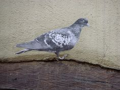 pigeon Trompe-l'oeil by Lapichon, via Flickr