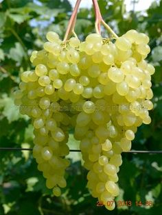 Kischmisch Lutschistji - seedless - buy grapevines for your garden Roasted Broccoli And Carrots, Fruit For Diabetics, Cabbage And Bacon, Rainbow Fruit, Wine Vineyards, Fruit Photography, Green Grapes, Delicious Fruit, Hydroponic Gardening