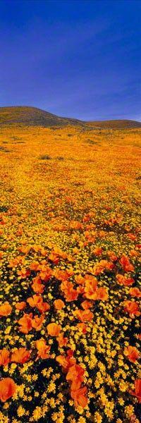 RAINBOW FIELDS - ANTELOPE VALLEY POPPY RESERVE PARK, CALIFORNIA