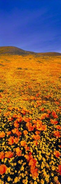 Rainbow Fields  Antelope Valley Poppy Reserve Park, California