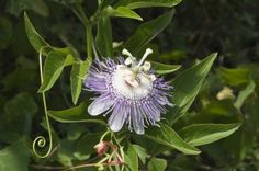 Wild passionflowers grow rapidly by means of an extensive system of underground roots, and getting rid of the plants isn?t an easy task. Learn more about maypop weed control in this article and get rid of these pesky plants for good. Garden Of Earthly Delights, Weed Control, Passion Flower, Bougainvillea, Garden Pests, Large Animals, Outdoor Projects, Flower Beds