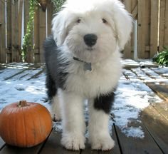 Old English sheepdog puppy. If I were to get a dog, this is exactly the kind I would get!