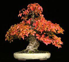 Grab Bonsai Galeria Wykonawca: Wolfgang Putz  Koreański Grab (Carpinus coreana)  Spadek Kolory  35cm (13,75 cala)  Importowane z Japonii (od 1998) w stylu  : Ingrid Královec Pot (Austria)