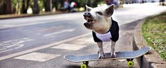 Socializing Your Mini Pig Pigs are not born naturally social or trusting. Unlike a puppy,