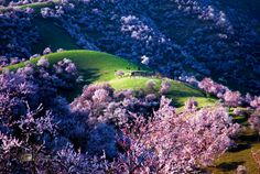 Yili Apricot Valley, China - Every year, these rolling hills in Xinjiang explode into a puffy sea of pink and white. As the largest groves of apricots in the region, this flowering signifies the beginning of the fruiting season, while also transforming the landscape into something other-worldly.