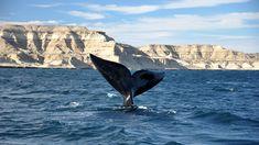 Península Valdés - Es un accidente costero sobre elmar Argentino,Provincia del Chubut, y es parte de los sietePatrimonios de la Humanidaddeclarado por laUnesco. Recibe la mayor población reproductora deballenas francas australes.