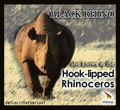 Did you know black rhinos are also known as the hook-lipped rhinos? Rhino Poaching, Extraordinary People, Rhinos, Birds Of Prey, Africa Travel, Free Ebooks, Helping People, Wildlife, Elephant