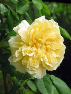 Rosa 'Céline Forestier' - a yellow climbing rose for a warm wall