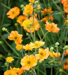 Geums are the May colour-gap fillers par excellence. We need them for our May garden & Totally Tangerine flowers long & hard.  A big star of Chelsea 2016.