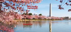 cherry blossom in washington - Cerca con Google