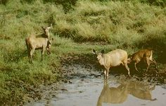 Female sambar does with fawns drinking from a pool at Ranthambore.