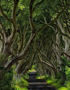 The Dark Hedges in Northern Ireland look magical. The Dark Hedges is a beech alley planted in County Antrim in the eighteenth century. The ancient gnarly trees form a natural arched tunnel which is now one of the most famous local landmarks. All Nature, Amazing Nature, Beautiful World, Beautiful Places, Beautiful Roads, Beautiful Witch, Tree Tunnel, Jolie Photo, Hedges