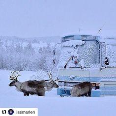 Hvem er turister her  #reiseblogger #reiseliv #reisetips  #Repost @lissmarlen with @repostapp  Dette bildet  Elsk  Foto: Min tante Britt M. Halonen som er så flink til å ta bilder. Hun er hobbyfotograf men har ikke instagram selv så jeg har fått tillatelse til å dele noen av bildene hennes. Jeg har alltid hatt en forkjærlighet for reinsdyr. Kanskje fordi min mor er samisk og alle mine barndomsferier ble tilbringt i Finnmark. Bildet jeg deler idag har min tante tatt mens hun bodde i…