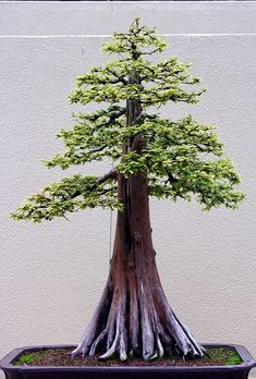 Need to get my bonsai on so hopefully by the time I'm 50 I will have a hand grown beauty like this to pass on <3 love trees.
