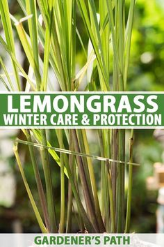 A tropical plant, lemongrass requires extra care to survive the winter chill. Learn how to prepare your plants for the change of seasons on Gardener's Path. Herb Garden Design, Diy Herb Garden, Garden Ideas, Garden Gate, Edible Garden, Balcony Garden, Winter Plants, Winter Garden, Plant Growth