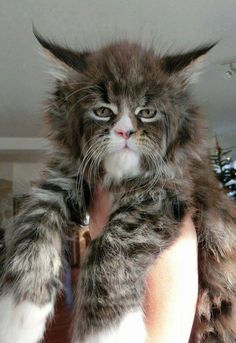 maine coone charcoal grey  maine coone  cats maine coon