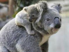 私はコアラを愛する | Cutest Paw