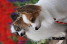 Just like my papillon ginger!! <3