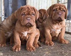 The traits we enjoy about the Good-Natured Big Mastiffs French Mastiff Puppies, Mastiff Puppies For Sale, Tiny Puppies, Cute Puppies, Puppies Tips, Giant Dog Breeds, Giant Dogs, Pet Dogs, Dog Cat