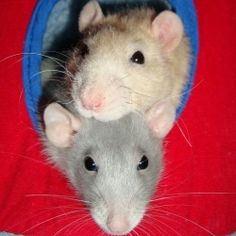 "So many fun great DIY ideas for toys, bedding, & treats for pet rats!  Scroll down to ""hanging beds"" and click on cube photo for tutorial.  :)"