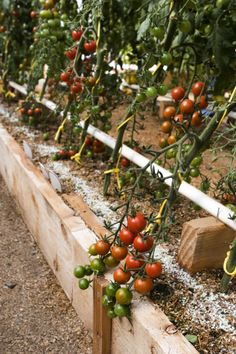 Tomatoes just fertilized with the Mittleider fertilizer formula. Love this method.