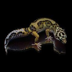 Die 43 Besten Bilder Von Leopard Gecko Breeding Animals Albino