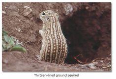 The Panamint chipmunk (aka 13-lined ground squirrel). such a cool pattern!  #animals #chipmunk #squirrel