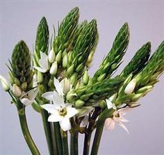 I haven't met an ornithogalum I haven't liked. ___________ Mayesh Wholesale Florists