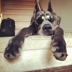 """Just checking out the action!"" #dogs #pets #GreatDanes Facebook.com/sodoggonefunny"