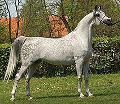 Embella (PL) 1995 Pure Polish Grey mare. Monogramm {Negatraz x Monogramma by Knippel} x Emanacja {Eukaliptus x Emigracja by Palas} Bred by Michalów Stud, Poland. Owned by Dubai Arabian Stud, UAE.