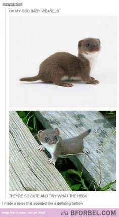 Baby Weasels Are SO ADORABLE!
