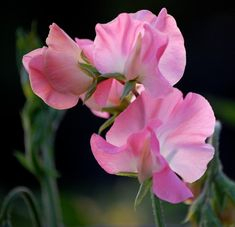 Evening lights the ruffles of Lathyrus odoratus 'Rose Pink', from the Royal family of sweet peas.