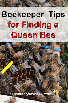How to Find the Queen Bee in Your Hive - Carolina Honeybees How To Start Beekeeping, Beekeeping For Beginners, Bee Nuc, Honey Bee Facts, Shade Grass, Farm Chicken, Chicken Tractors, Backyard Beekeeping, Worm Farm