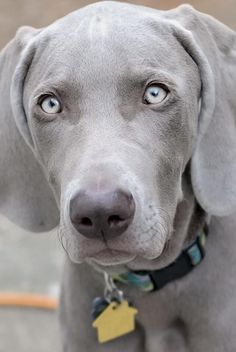 EVERYTHING about the Weimaraner or Weimaraner: origins, behavior - Weimar shorthaired pointer character - Beautiful Dogs, Animals Beautiful, Cute Animals, Pet Dogs, Dog Cat, Doggies, Dachshund Dog, Cute Puppies, Dogs And Puppies