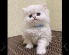 Persian Cat Doll Face, Teacup Persian Kittens, Persian Kittens For Sale, Cats And Kittens, Teacup Kittens For Sale, Kitten For Sale, Persian Cat Breeders, Cavapoo Puppies, Cute Cats
