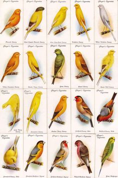 cigarettes card/シガレットカード【Aviary and Cage Bird】 Love Birds, Beautiful Birds, Bird Illustration, Illustrations, Nester, Bird Identification, Canary Birds, Bird Artwork, Wild Creatures